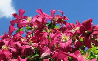 Весенняя подкормка клематисов для цветения