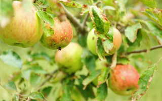 Причины скручивания листьев на груше и яблоне