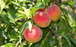 Персик: болезни и вредители, способы избавления от них