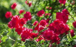 Осенняя обработка роз железным купоросом