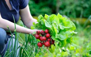 Ранний урожай редиса: как получить его уже в апреле