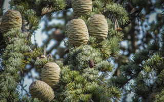 Распространенные виды кедровых деревьев и их выращивание