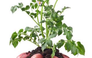 Что можно посадить после того, как выкопали ранний картофель
