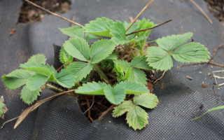 Утепление клубники на зиму при помощи агроволокна