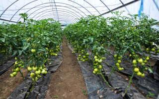 Основные причины несозревания томатов в теплицах и открытом грунте