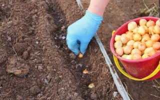 Китайский метод выращивания лука: особенности и преимущества