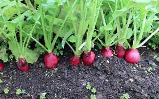 Как правильно посадить редис под зиму и получить хороший урожай