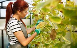 Причины пожелтения листьев у огурцов, которые выращиваются в теплице