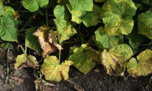 Предотвращение пожелтения листьев огурцов