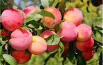 Описание сорта сливы Персиковая: посадка и последующий уход