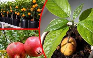 Выращиваем экзотические растения на подоконнике из косточек зимой