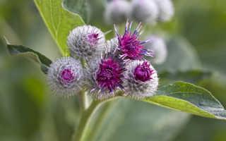 Полезный сорняк: целебные свойства репейника