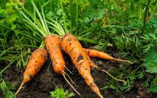 Что можно и нельзя сажать после моркови на следующий год
