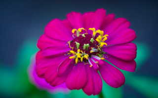 Как посадить, ухаживать и вырастить цинию в открытом грунте