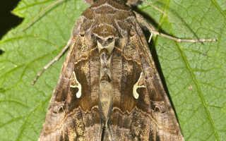 Красивые вредители: бабочки-совки и как с ними справиться