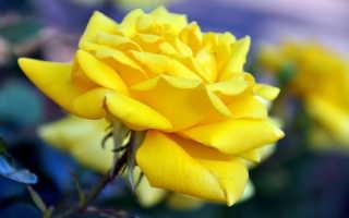 Как помочь букету роз продержаться максимально долго