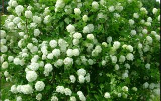 Калина Бульденеж: как посадить и ухаживать за растением