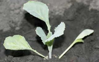 Как правильно посадить рассаду капусты