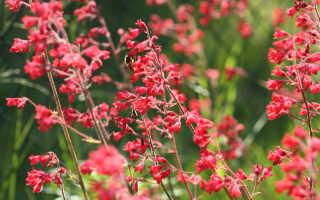 Гейхера — просто находка для цветоводов: правила выращивания