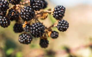 Сорта и выращивание садовой ежевики