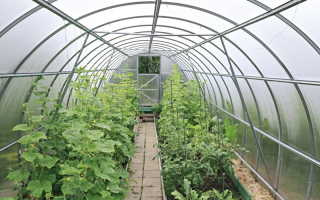 Рекомендации по выращиванию огурцов в теплице