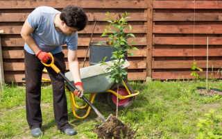 Советы начинающему садоводу: как правильно выбрать саженцы плодовых деревьев