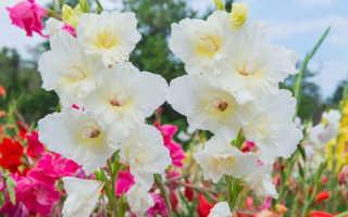 Правильная посадка гладиолусов весной