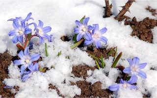 Первоцвет хионодокса: как ухаживать, выращивать и размножать
