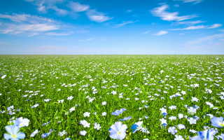 Выращивание льна крупноцветкового: уход и правильная посадка