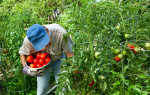 Сорта крупных и сочных томатов