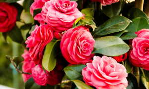 Камелия: выращивание как бонсай и домашнее растение
