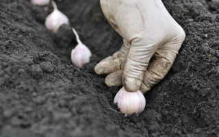 Посадка чеснока: особенности луковиц, время посадки
