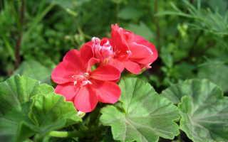 Выращивание герани: советы по посадке и уходу