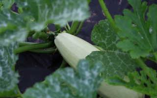Выращивание кабачков: посадка и уход