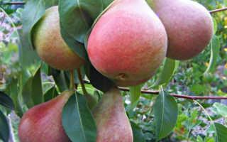 Сорт груши Николай Крюгер – украшение осеннего сада и праздничного стола