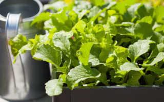 Мой свежий и ароматный зимний редис: как я выращиваю овощ в теплице в сезон холодов
