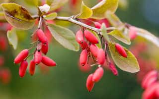 Барбарис в вашем саду: 10 лучших сортов декоративного растения, которые стоит посадить на даче