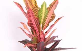 Когда зацвел кротон: приметы, связанные с растением, как ухаживать за капризным питомцем