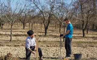 Основные правила посадки яблони в глинистую почву