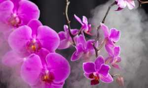 Цветонос у орхидеи: как отличить от корня и детки