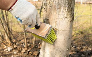 Лучшие сроки для побелки садовых деревьев — весна или осень