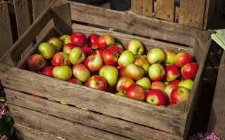 Популярные старинные сорта яблок