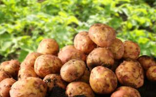 5 урожайных сортов голландского картофеля