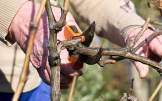 Все об обрезке винограда: оптимальное время и уход