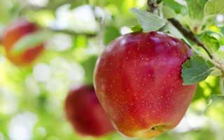 Фантастический сорт яблонь Апорт: выращивание и уход