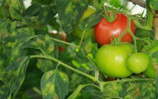 Причины желтых пятен на листьях томатов — методы борьбы и способы профилактики
