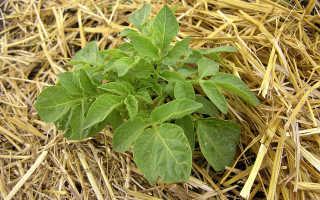 Метод выращивания картофеля под соломой: преимущества