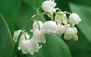 Ландыш: история цветка, выращивание и уход, борьба с вредителями