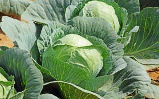 Нижние листья капусты: когда обрывать, и как правильно это сделать