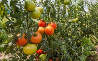 Выращивание различных сортов томатов